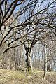 Wintereiche, Wilhelmsburg 009.JPG