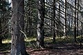 Witch's Forest - spruces with bare branches at Myrstigen.jpg