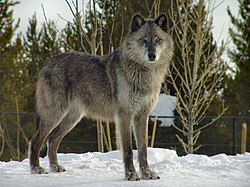 Wolf in Grizzly and Wolf Discovery center.jpg