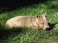 Wombat01.JPG