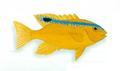 XRF-Plectroglyphidodon leucozonus.png