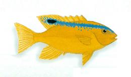 XRF-Plectroglyphidodon leucozonus