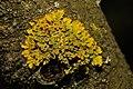 Xanthoria parietina 99381211.jpg