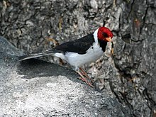 Yellow-billed Cardinal RWD2.jpg