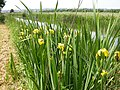 Yellow Flags on the Bank of the Grand Union Canal - geograph.org.uk - 184774.jpg