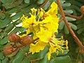 Yellow flamboyant flower.jpg