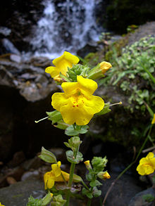 Yellow monkeyflower.jpg