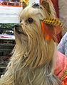 Yorkshire Terrier (Yorkie) (8109900670).jpg