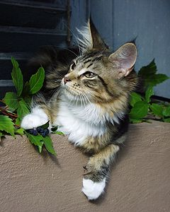 Young Maine Coon Maley