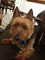 Young Male Australian Terrier.jpg