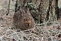 Young hare in forest.jpg