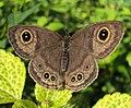 Ypthima baldus - Common Five-ring 04.JPG