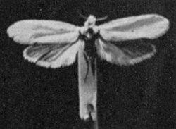 250px-Yucca_Moth.jpg