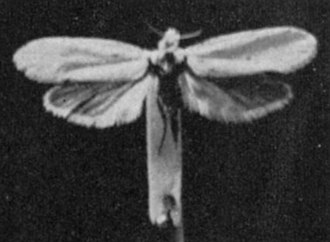 Prodoxidae - Yucca moth