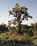 Yucca decipiens 2.jpg