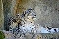 Zürich Zoo Snow Leopards (16489603744).jpg