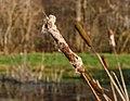 Zaadpluizen grote lisdodde (Typha latifolia). Locatie, Natuurterrein De Famberhorst 02.jpg