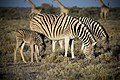 Zebra, Namibia (21170400564).jpg
