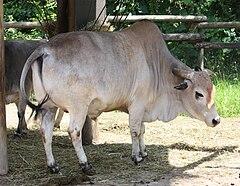 https://upload.wikimedia.org/wikipedia/commons/thumb/4/44/Zebu_Cattle_001.jpg/240px-Zebu_Cattle_001.jpg