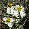Zinnia acerosa flowers