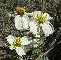 Zinnia acerosa flowers.jpg
