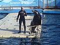 Zoo de Barcelona - Lleons marins de Califòrnia 04.JPG