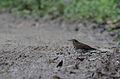 Zoothera mollissima.jpg