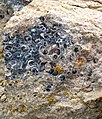 """Turritella Agate"" (partially chertified fossiliferous lacustrine limestone) (Laney Member, Green River Formation, Middle Eocene; North Barrel Springs Draw, south of Wamsutter, Wyoming, USA) 10 (19687689168).jpg"