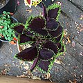 'Giant Exhibition Magma' coleus IMG 0887.jpg