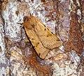 (2267) Beaded Chestnut (Agrochola lychnidis) (30785426902).jpg