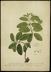 (Calophyllum brasiliense)