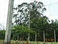 Árvores em S.Jorge.jpg