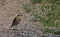 Ängspiplärka Meadow Pipit (14459789476).jpg