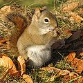 Écureuil roux -- Red Squirrel -a.jpg