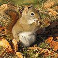 Écureuil roux -- Red Squirrel -a.jpg