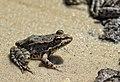 Лягушка на песчаном берегу.jpg