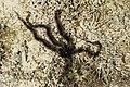 Офиура или змеехвостка (лат.Ophiuroidea) .Die Stachelhäuter (Echinodermata).2H1A5770ОВ.jpg