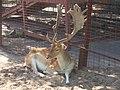 Самец лани в Липецком зоопарке.jpg