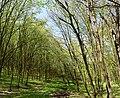 Теліженецький ліс DSC 0023 stitch.jpg