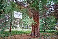 Ужгородський ботанічний сад - Мамонтове дерево.jpg