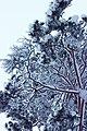 Финские сосны зимой.jpg