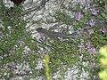 Ящерица в Валуйском районе (1).jpg