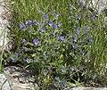 עכנאי נאה Echium plantagineum.JPG