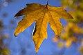 برگ زرد-پاییز-yellow leaves-falling leaves 19.jpg