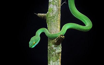 দাগি লেজা সবুজ বোরা,green pit viper.jpg