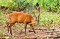้horn and barking deer.jpg