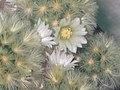 仙人掌-烏羽玉 Lophophora williamsii -香港北區花鳥蟲魚展 North District Flower Show, Hong Kong- (9227081129).jpg