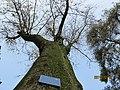 南山植物园-皂荚树 - panoramio.jpg