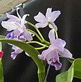 卡特蘭屬 Cattleya bowringiana v coerulea -香港沙田洋蘭展 Shatin Orchid Show, Hong Kong- (31448305386).jpg