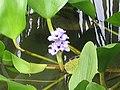 大艾克草 Eichhornia azurea -香港公園 Hong Kong Park- (9198132953).jpg